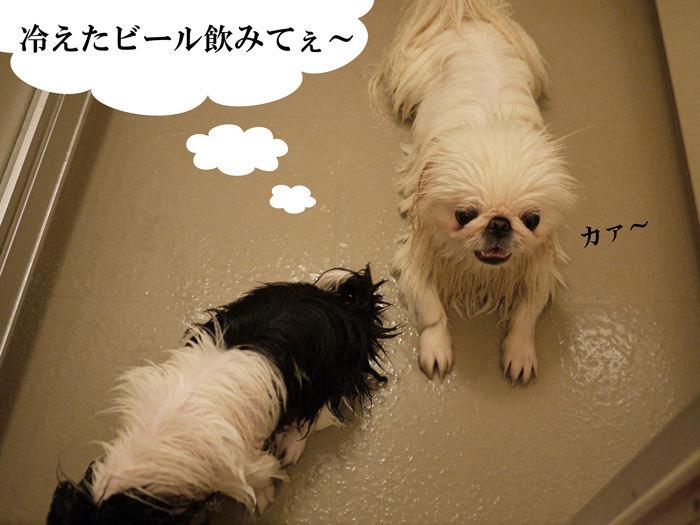 ペキニーズ Blog-白ペキニーズ シロ♂ & 白黒ペキニーズ クロ♀のフォトブログ-2011.11.10.シロクロ