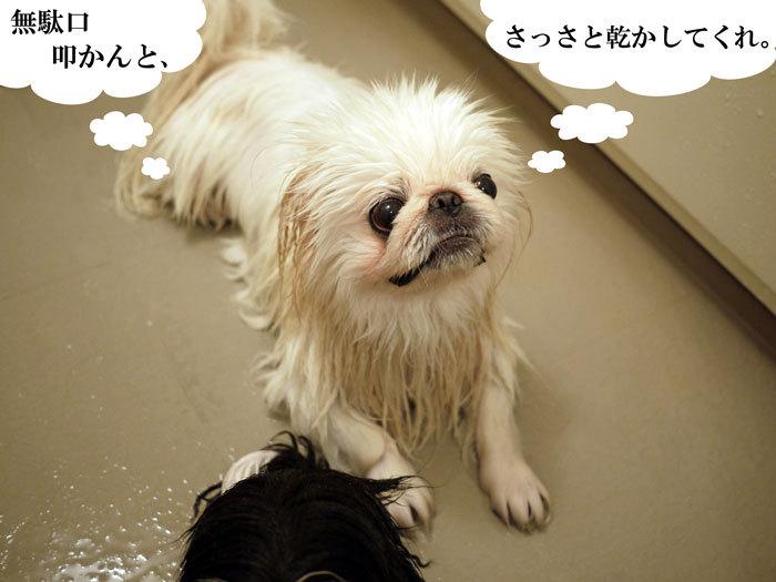 ペキニーズ Blog-白ペキニーズ シロ♂ & 白黒ペキニーズ クロ♀のフォトブログ-2011.11.10.シロ
