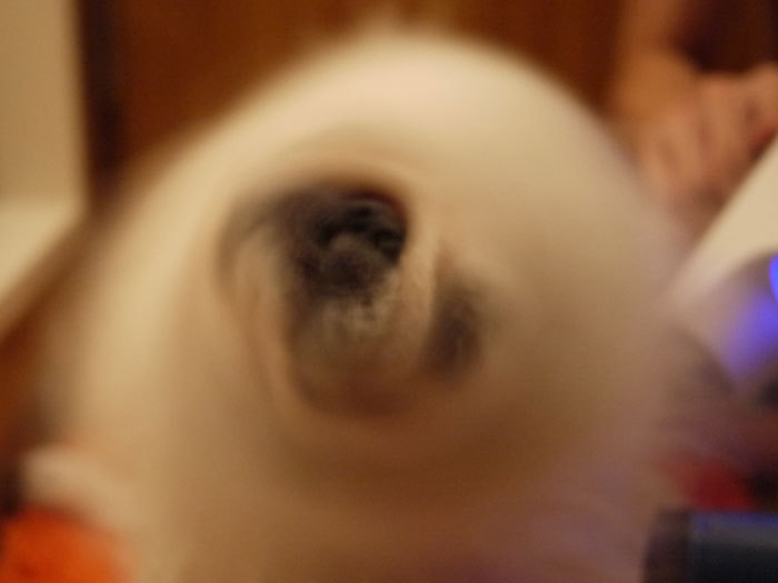 ペキニーズ Blog-白ペキニーズ シロ♂ & 白黒ペキニーズ クロ♀のフォトブログ-2011.11.12.シロ