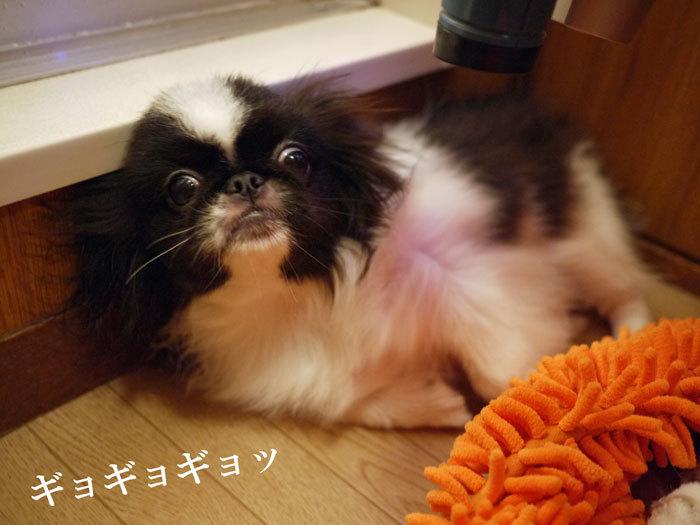 ペキニーズ Blog-白ペキニーズ シロ♂ & 白黒ペキニーズ クロ♀のフォトブログ-2011.11.14.クロ