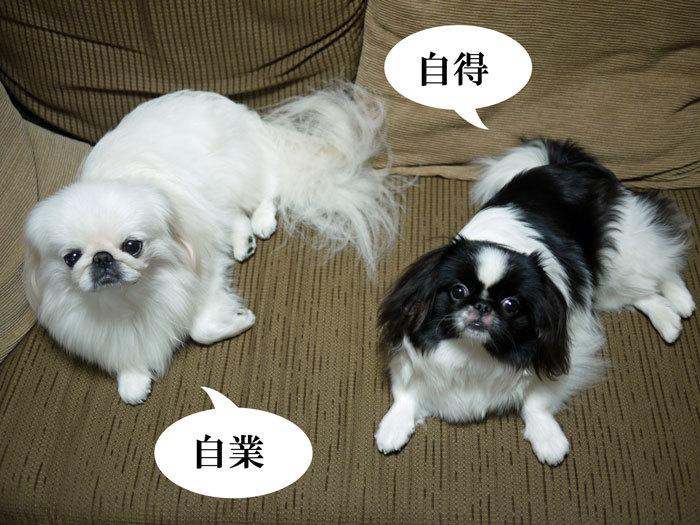 ペキニーズ Blog-白ペキニーズ シロ♂ & 白黒ペキニーズ クロ♀のフォトブログ-2011.11.25.シロクロ