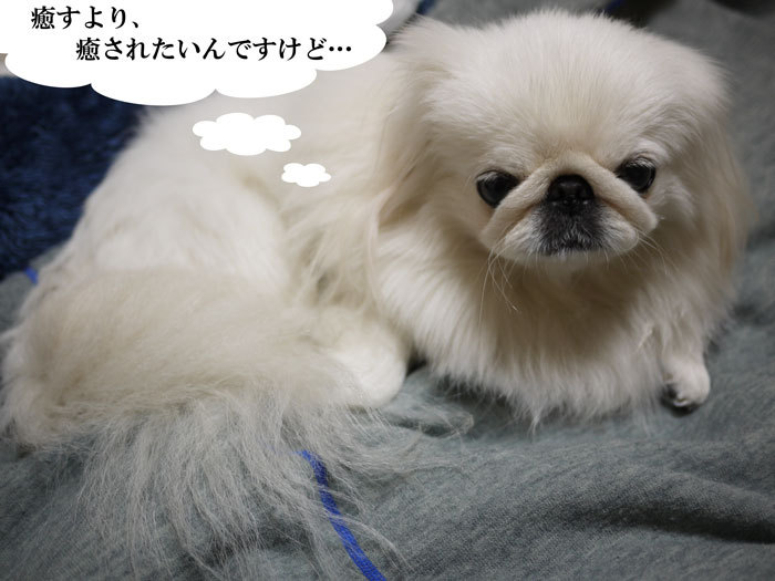 ペキニーズ Blog-白ペキニーズ シロ♂ & 白黒ペキニーズ クロ♀のフォトブログ-2011.11.25.シロ