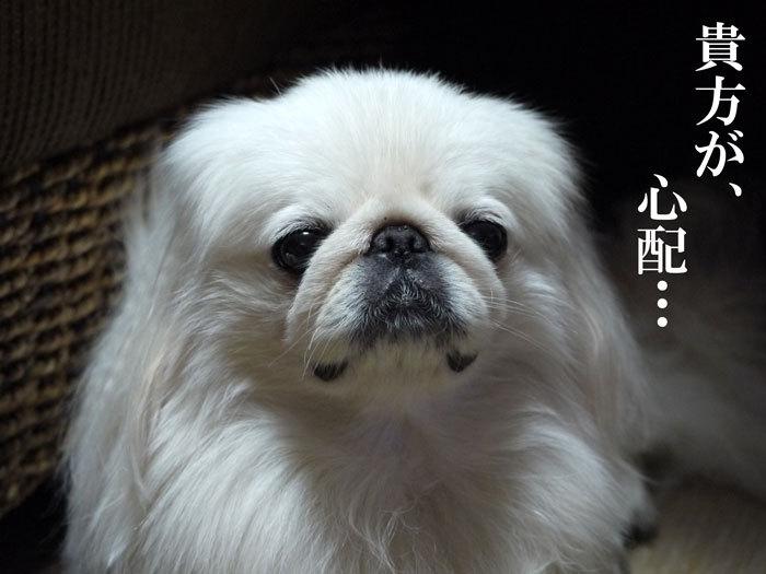 ペキニーズ Blog-白ペキニーズ シロ♂ & 白黒ペキニーズ クロ♀のフォトブログ-2011.12.5.シロ