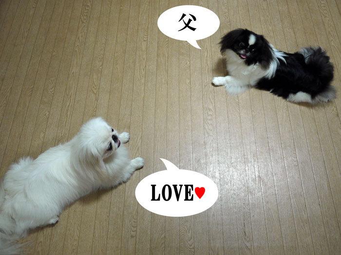 ペキニーズ Blog-白ペキニーズ シロ♂ & 白黒ペキニーズ クロ♀のフォトブログ-2011.12.8.シロクロ