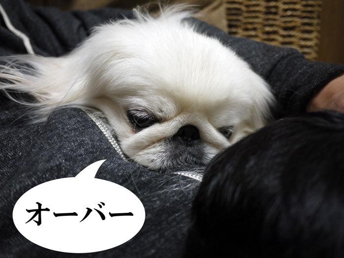 ペキニーズ Blog-白ペキニーズ シロ♂ & 白黒ペキニーズ クロ♀のフォトブログ-2011.12.8.シロ