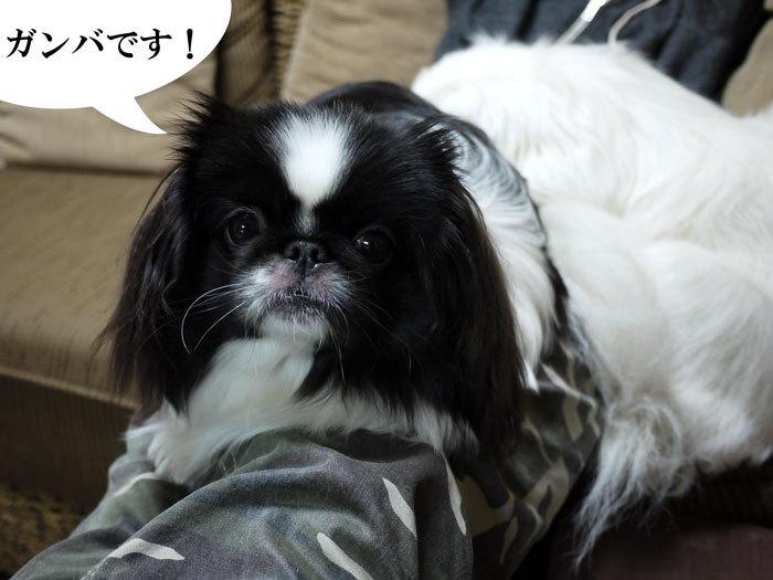 ペキニーズ Blog-白ペキニーズ シロ♂ & 白黒ペキニーズ クロ♀のフォトブログ-2011.12.8.クロ