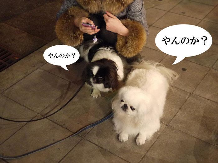ペキニーズ Blog-白ペキニーズ シロ♂ & 白黒ペキニーズ クロ♀のフォトブログ-2011.12.10.シロクロ