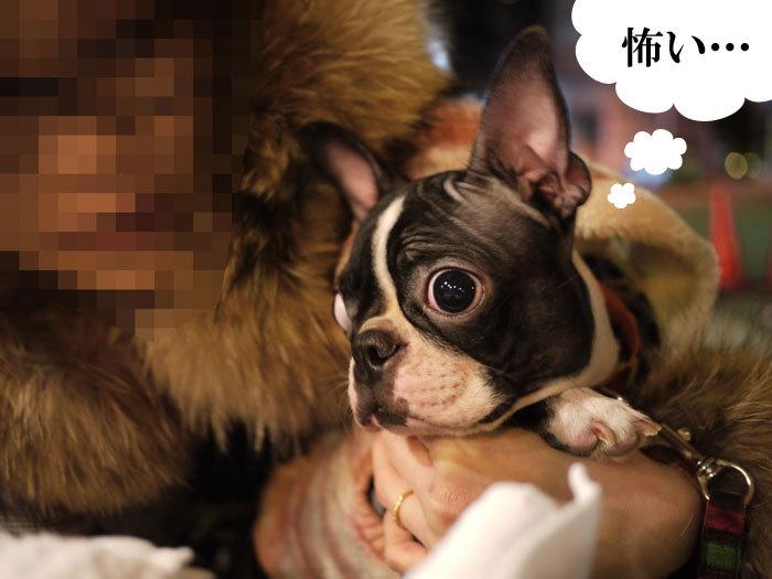 ペキニーズ Blog-白ペキニーズ シロ♂ & 白黒ペキニーズ クロ♀のフォトブログ-2011.12.10.nico