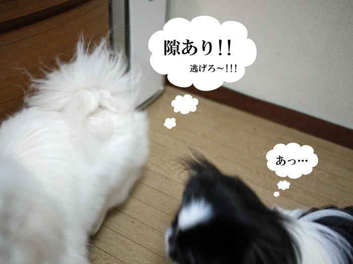ペキニーズ Blog-白ペキニーズ シロ♂ & 白黒ペキニーズ クロ♀のフォトブログ-2011.12.28.シロクロ