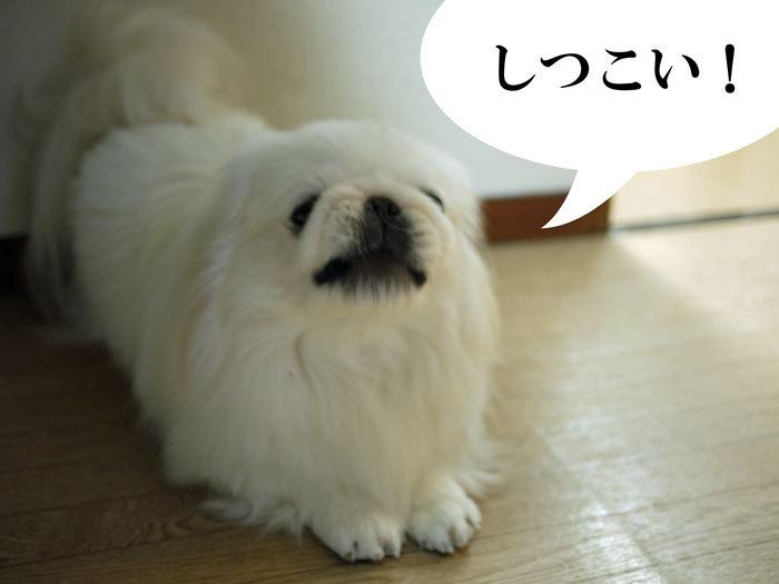 ペキニーズ Blog-白ペキニーズ シロ♂ & 白黒ペキニーズ クロ♀のフォトブログ-2011.12.28.シロ