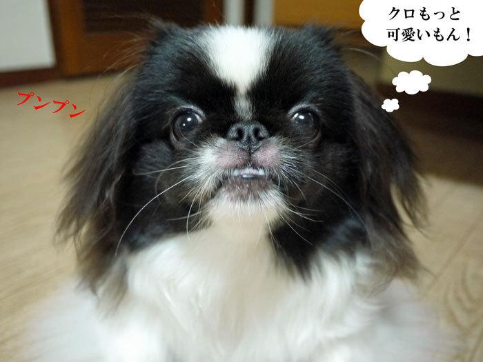 ペキニーズ Blog-白ペキニーズ シロ♂ & 白黒ペキニーズ クロ♀のフォトブログ-2011.12.12.クロ