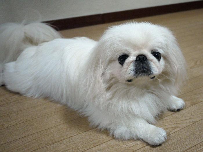 ペキニーズ Blog-白ペキニーズ シロ♂ & 白黒ペキニーズ クロ♀のフォトブログ-2011.12.12.シロ
