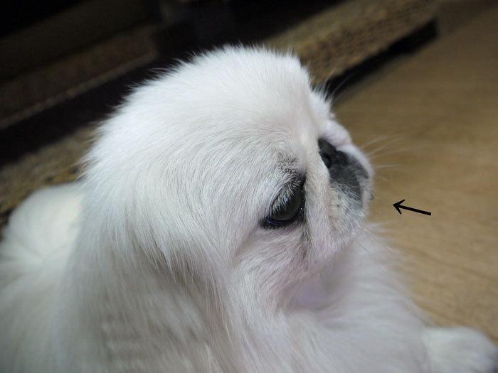 ペキニーズ Blog-白ペキニーズ シロ♂ & 白黒ペキニーズ クロ♀のフォトブログ-2011.12.21.シロ