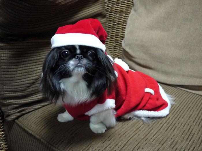ペキニーズ Blog-白ペキニーズ シロ♂ & 白黒ペキニーズ クロ♀のフォトブログ-2011.12.24.クロ