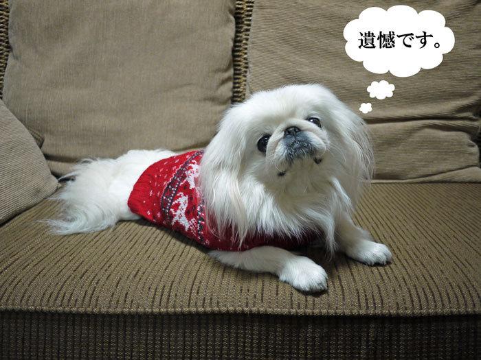 ペキニーズ Blog-白ペキニーズ シロ♂ & 白黒ペキニーズ クロ♀のフォトブログ-2011.12.24.シロ