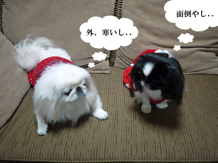 ペキニーズ Blog-白ペキニーズ シロ♂ & 白黒ペキニーズ クロ♀のフォトブログ-2011.12.24.シロクロ