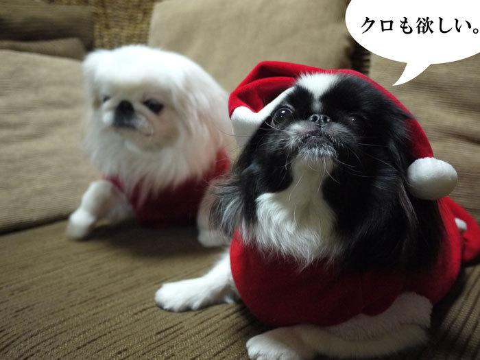 ペキニーズ Blog-白ペキニーズ シロ♂ & 白黒ペキニーズ クロ♀のフォトブログ-2011.12.24.クロシロ