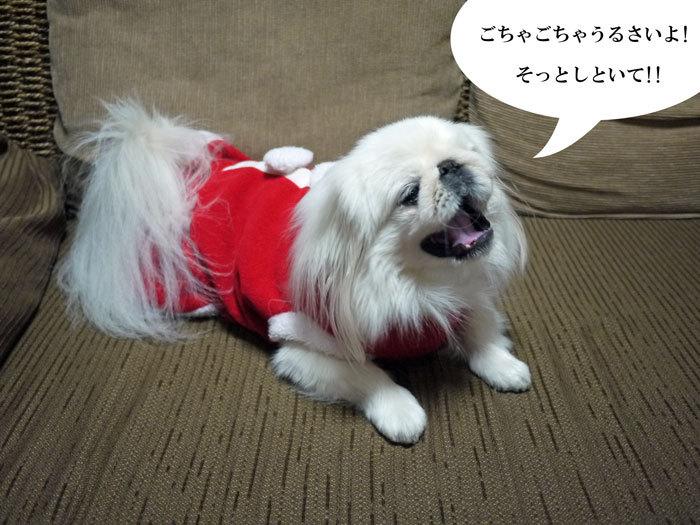ペキニーズ Blog-白ペキニーズ シロ♂ & 白黒ペキニーズ クロ♀のフォトブログ-2011.12.25.シロ