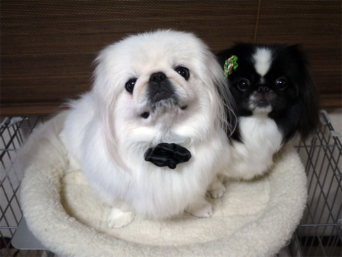 ペキニーズ Blog-白ペキニーズ シロ♂ & 白黒ペキニーズ クロ♀のフォトブログ-2012.1.2.シロクロ