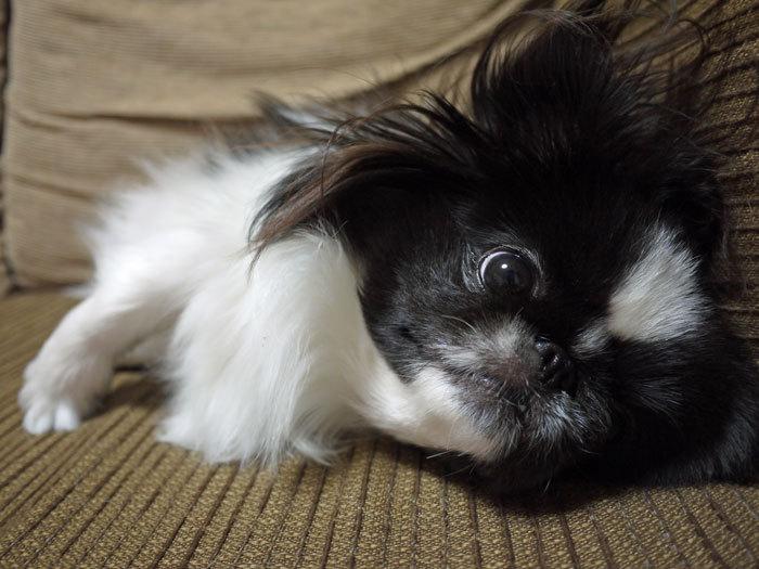 ペキニーズ Blog-白ペキニーズ シロ♂ & 白黒ペキニーズ クロ♀のフォトブログ-2012.1.31.クロ