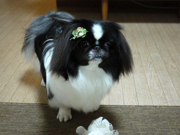 ペキニーズ Blog-白ペキニーズ シロ♂ & 白黒ペキニーズ クロ♀のフォトブログ-2012.1.19.クロ