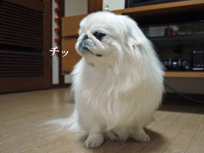 ペキニーズ Blog-白ペキニーズ シロ♂ & 白黒ペキニーズ クロ♀のフォトブログ-2012.1.22.シロ