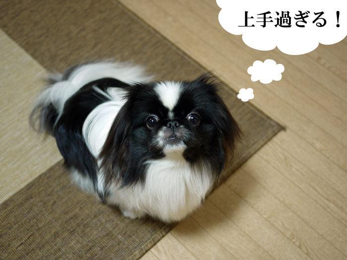 ペキニーズ Blog-白ペキニーズ シロ♂ & 白黒ペキニーズ クロ♀のフォトブログ-2012.1.25.クロ