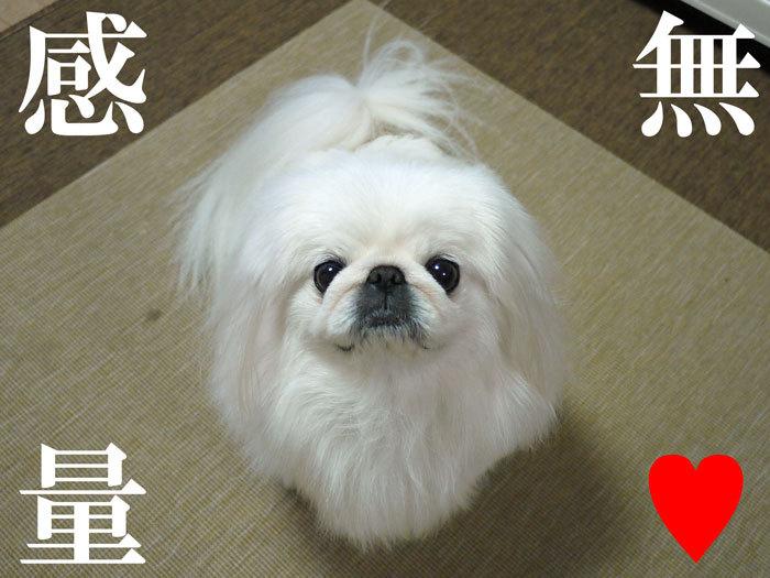 ペキニーズ Blog-白ペキニーズ シロ♂ & 白黒ペキニーズ クロ♀のフォトブログ-2012.1.25.シロ