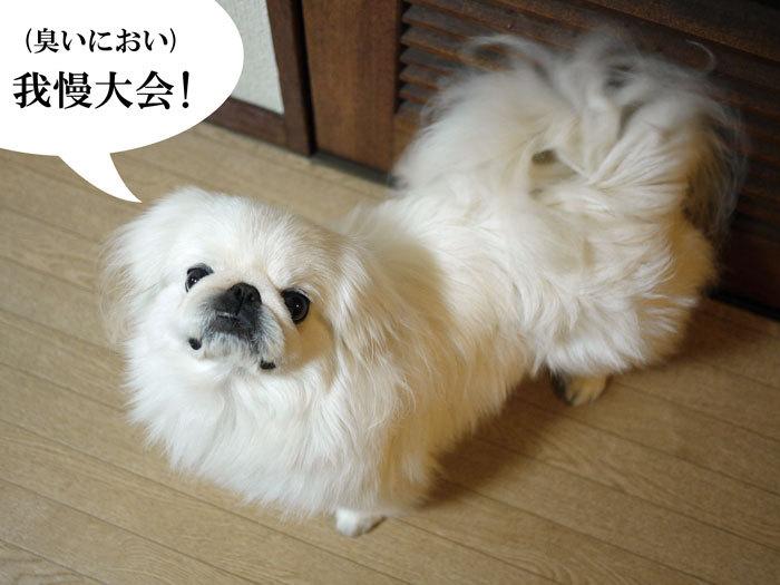 ペキニーズ Blog-白ペキニーズ シロ♂ & 白黒ペキニーズ クロ♀のフォトブログ-2012.1.29.シロ