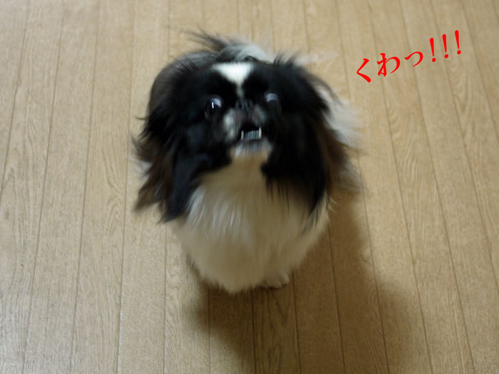ペキニーズ Blog-白ペキニーズ シロ♂ & 白黒ペキニーズ クロ♀のフォトブログ-2012.1.29.クロ