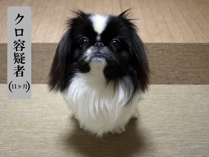 ペキニーズ Blog-白ペキニーズ シロ♂ & 白黒ペキニーズ クロ♀のフォトブログ-2012.2.1.クロ