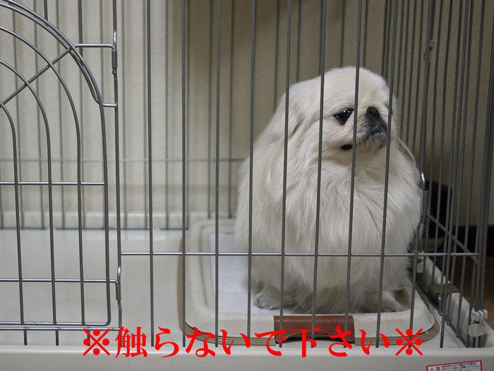 ペキニーズ Blog-白ペキニーズ シロ♂ & 白黒ペキニーズ クロ♀のフォトブログ-2012.2.1.シロ