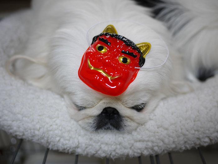 ペキニーズ Blog-白ペキニーズ シロ♂ & 白黒ペキニーズ クロ♀のフォトブログ-2012.2.3.シロ