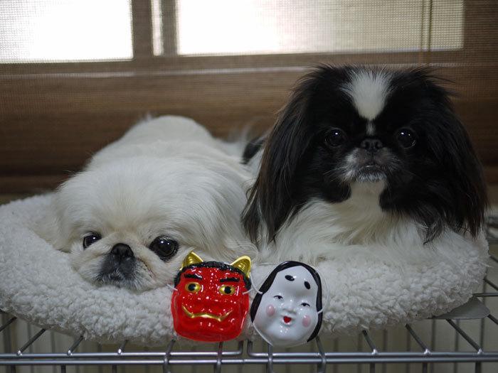 ペキニーズ Blog-白ペキニーズ シロ♂ & 白黒ペキニーズ クロ♀のフォトブログ-2012.2.3.シロクロ