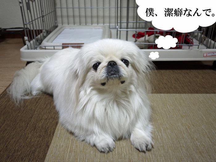ペキニーズ Blog-白ペキニーズ シロ♂ & 白黒ペキニーズ クロ♀のフォトブログ-2012.2.13.シロ
