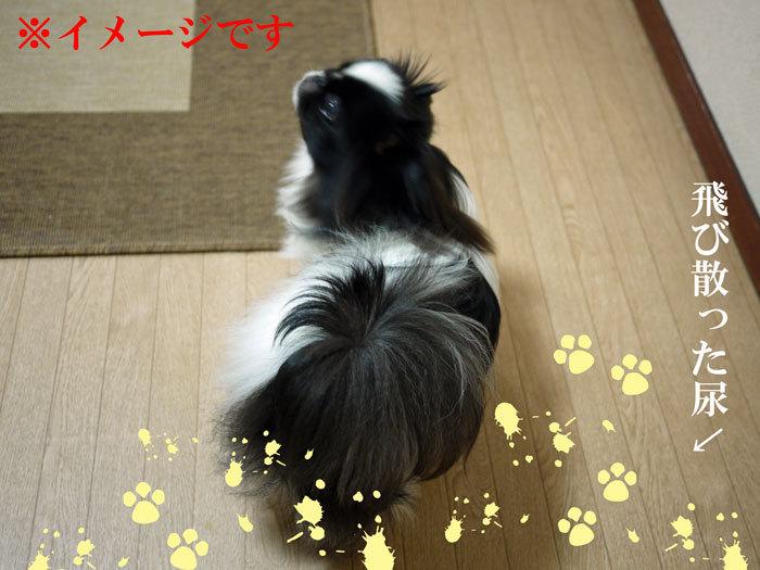 ペキニーズ Blog-白ペキニーズ シロ♂ & 白黒ペキニーズ クロ♀のフォトブログ-2012.2.13.クロ
