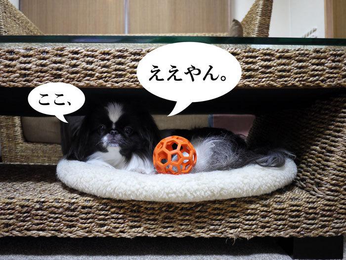 ペキニーズ Blog-白ペキニーズ シロ♂ & 白黒ペキニーズ クロ♀のフォトブログ-2012.2.8.クロ