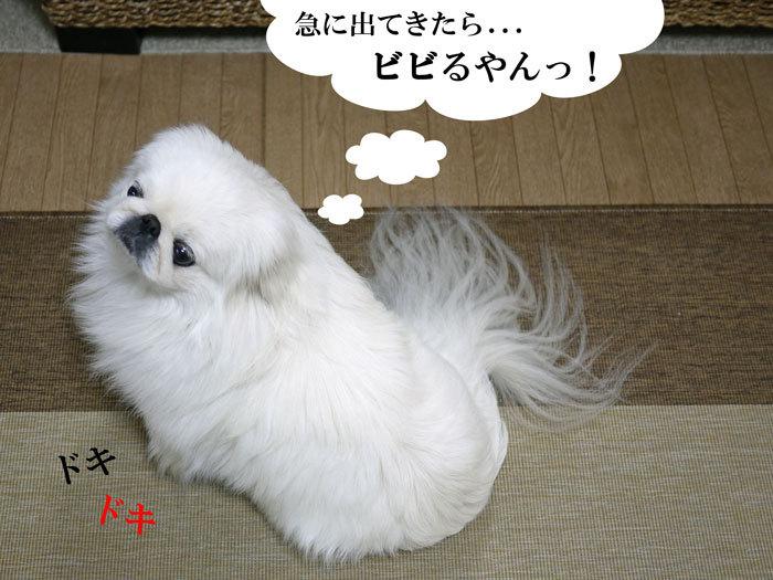 ペキニーズ Blog-白ペキニーズ シロ♂ & 白黒ペキニーズ クロ♀のフォトブログ-2012.2.8.シロ