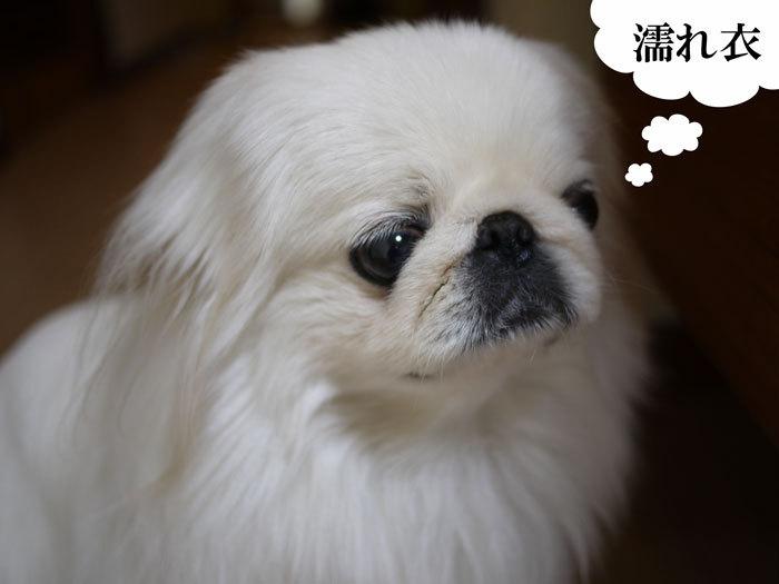 ペキニーズ Blog-白ペキニーズ シロ♂ & 白黒ペキニーズ クロ♀のフォトブログ-2012.2.11.シロ