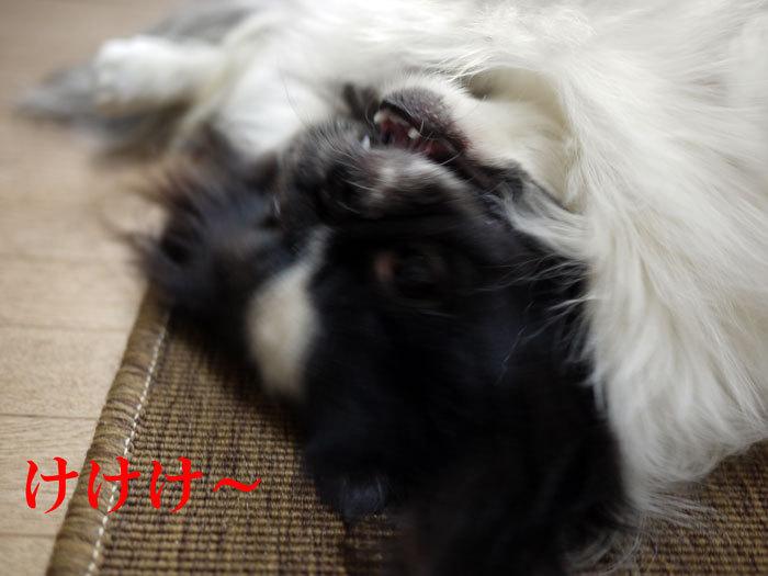 ペキニーズ Blog-白ペキニーズ シロ♂ & 白黒ペキニーズ クロ♀のフォトブログ-2012.2.11.クロ