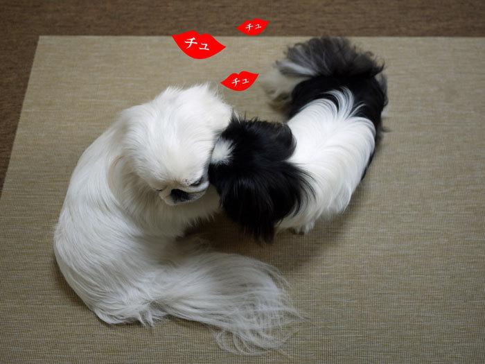 ペキニーズ Blog-白ペキニーズ シロ♂ & 白黒ペキニーズ クロ♀のフォトブログ-2012.2.16.シロクロ