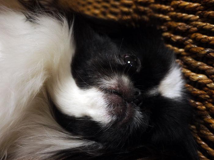 ペキニーズ Blog-白ペキニーズ シロ♂ & 白黒ペキニーズ クロ♀のフォトブログ-2012.2.17.クロ