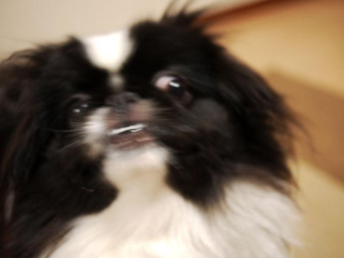 ペキニーズ Blog-白ペキニーズ シロ♂ & 白黒ペキニーズ クロ♀のフォトブログ-2012.2.25.クロ