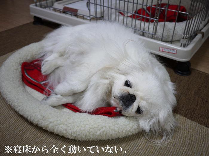 ペキニーズ Blog-白ペキニーズ シロ♂ & 白黒ペキニーズ クロ♀のフォトブログ-2012.3.27.シロ3