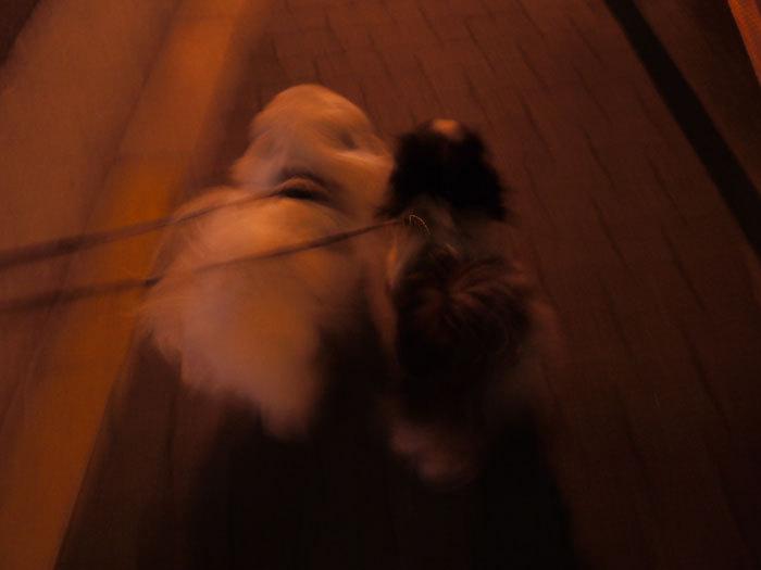 ペキニーズ Blog-白ペキニーズ シロ♂ & 白黒ペキニーズ クロ♀のフォトブログ-2012.3.27.シロ