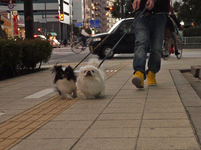 ペキニーズ Blog-白ペキニーズ シロ♂ & 白黒ペキニーズ クロ♀のフォトブログ-2012.2.27.シロクロ1