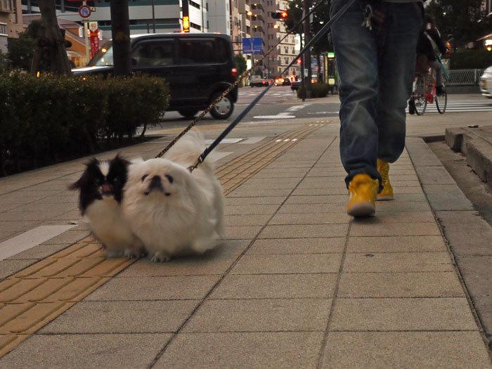 ペキニーズ Blog-白ペキニーズ シロ♂ & 白黒ペキニーズ クロ♀のフォトブログ-2012.2.27.シロクロ2