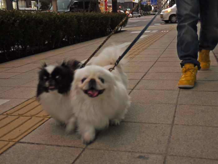 ペキニーズ Blog-白ペキニーズ シロ♂ & 白黒ペキニーズ クロ♀のフォトブログ-2012.2.27.シロクロ3