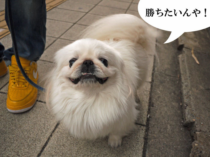 ペキニーズ Blog-白ペキニーズ シロ♂ & 白黒ペキニーズ クロ♀のフォトブログ-2012.2.27.シロ
