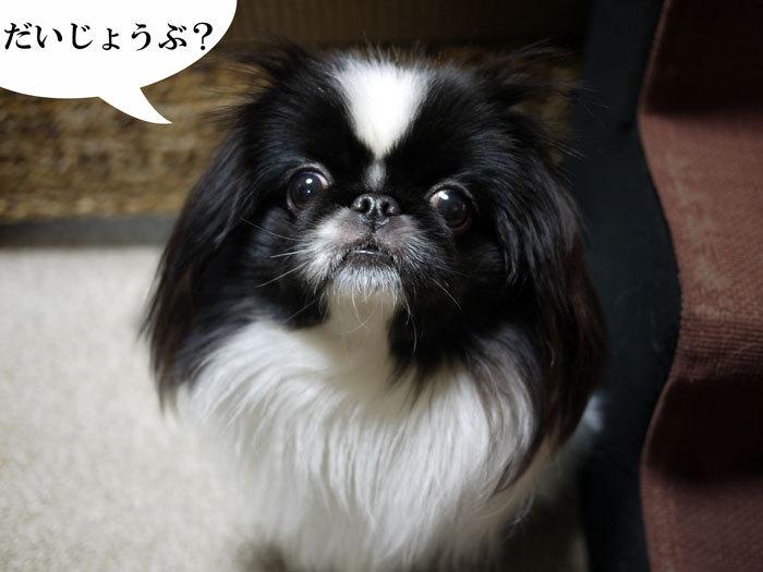 ペキニーズ Blog-白ペキニーズ シロ♂ & 白黒ペキニーズ クロ♀のフォトブログ-2012.3.6.クロ